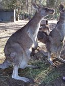 Australian Kangaroo with baby Joey in pouch poster