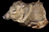 Taxidermy mount of a Javelina over black poster