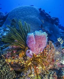 Callyspongia Plicifera, The Azure Vase Sponge, Species Of Demosponges Belonging Callyspongiidae Fami