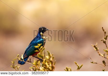 The Superb Starling Or Lamprotornis Superbus Is A Member Of The Starlings Family Of Birds. It Was Fo