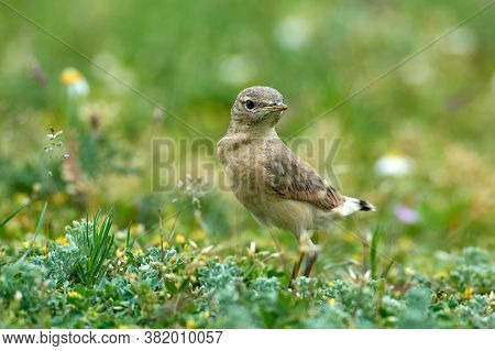 The Isabelline Wheatear juvenile (Oenanthe isabellina) on field