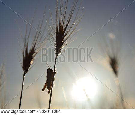 Sunrise With Small Grasshopper Perched On A Wheat Stalk