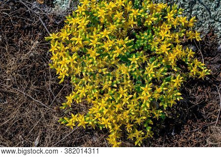 Blooming Sedum Acre, Known As The Biting Stonecrop - Small Yellow Flowers, Growing On The Cliff