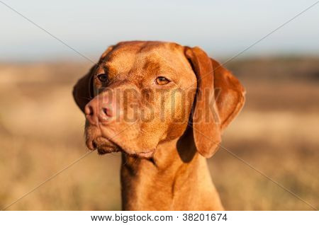 Closeup Of A Staring Vizsla Dog