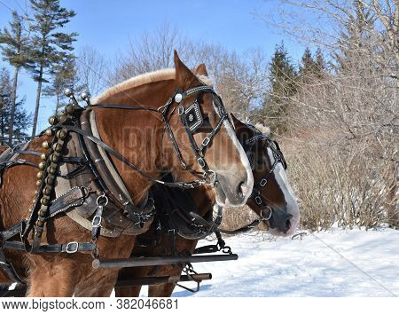 Pair Of Tacked And Harnessed Draft Horses In The Snow.