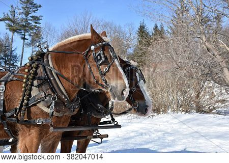 Pair Of Harnessed Chestnut Draught Horses In The Winter.