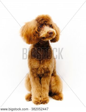 A Poodle Isolated On A White Background Sits After Grooming. The Dog Is Provided With Grooming Servi