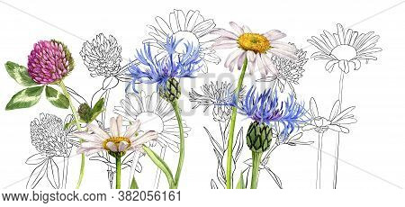 Daisy, Red Clover And Cornflower, Watercolor Drawing Wild Flowers , Floral Background, Hand Drawn Il