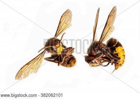 Dead Hornets Lie Curled Up With The Stinger Extended Against A White Background