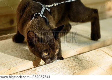 Burma Cat With Leash Walking On Lumber, Collared Pet Sniffing Wood Planks Outdoor. Burmese Cat Weari