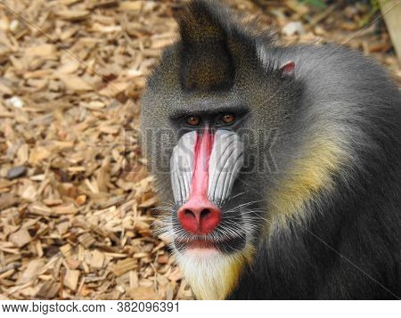 A Male Mandrill With Fierce Facial Expression