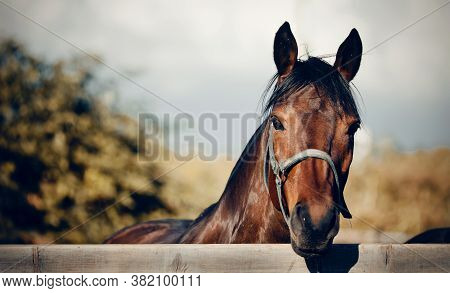 Sports Horse Of Bay Color In A Halter In The Levada. Portrait Of A Young Sports Horse. Horse Muzzle
