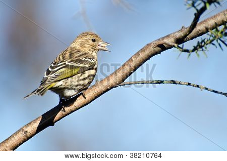 A Pine Siskin Eating a Seed While Perched on a Branch poster