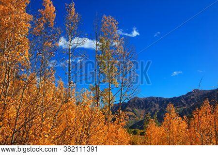 Tall Aspen trees against blue sky in autumn time