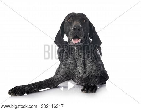 German Shorthaired Pointer In Front Of White Background