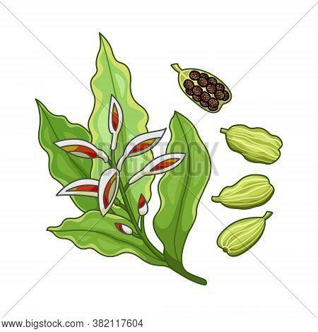Cardamom Vector Realistic Colored Botanical Illustration