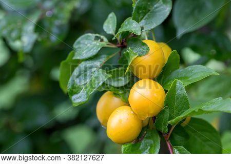 Raw Yellow Plum Mirabelle Fruit Growing On Tree. Prunus Domestica, Czech Republic