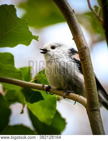 Single Longtailed Tit With White Fluffy Plumage Resting On The Tree Branch.