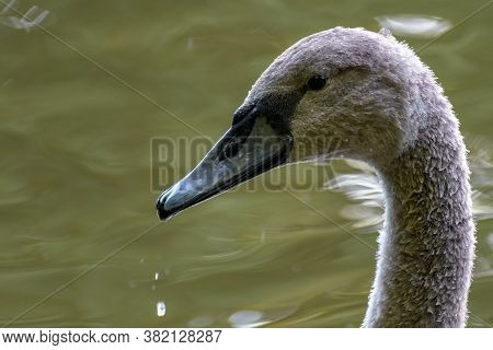 Juvenile Mute Swan (cygnus Olor) Profile Portrait Photo. Dark Grey Plumage Of Immature Bird. Blurred