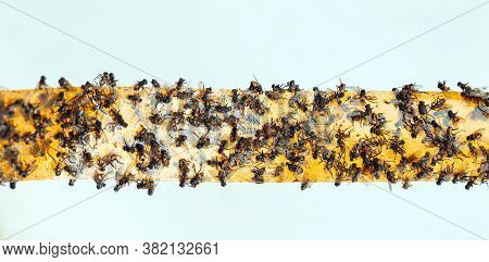 Sticky Flypaper With Glued Flies, Trap For Flies Or Fly-killing Device. On White Background With Cop