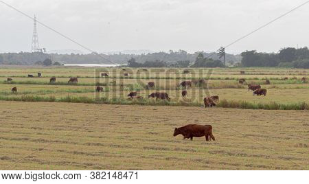 Oxen And Cows Grazing Outdoors In Extensive Cattle Ranching In Southern Brazil