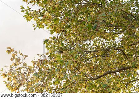 Leaves And Branches Of Maple Tree On Natural White Background