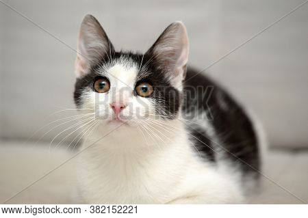 Black And White Shorthair Cat On A Light Background