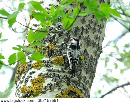 Lesser Spotted Woodpecker. A Woodpecker Is Sitting On A Tree.