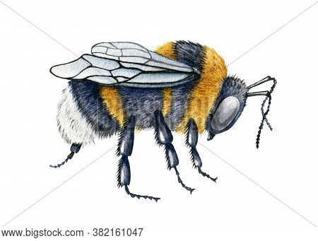 Bumblebee Close Up Watercolor Illustration. Hand Drawn Fluffy Striped Meadow Insect. Black And Yello