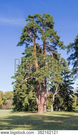 Old Pine With Several Trunks Growing From A Common Base In The Autumn Park On The Edge Of A Glade, V