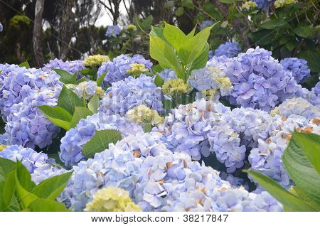 Wild Hydrangea in the Azores