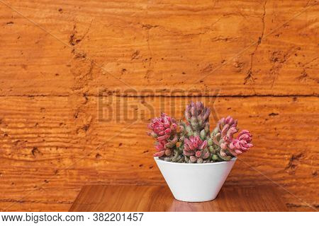Succulent Plant In White Flower Pot On Terracotta Colored Wall Background. Orange Or Ocher Clay Text