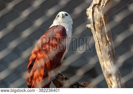 Red And White Colored Raptor Perched On A Tree Behind Metal Fence