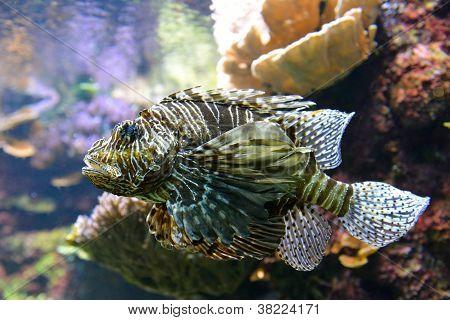 Close Up Of Poisonous Lion Fish Or Scorpion