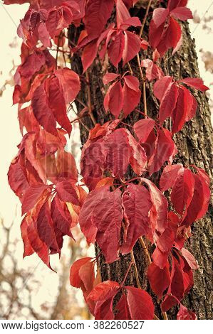 How Beautiful The Leaves Grow Old. Virginia Creeper On Tree Trunk Background. Tree Leaves Change Col