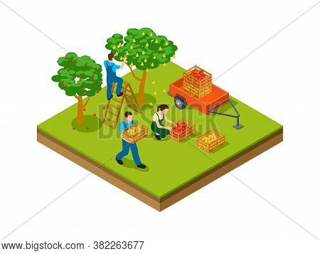 Isometric Gardening. Farmers, Plantation Agriculture Workers Harvesting For Seasonal Market. Isometr