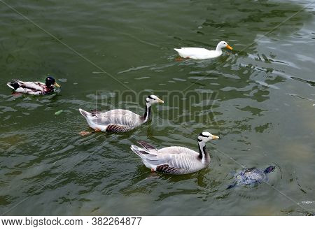 Several Motley Ducks Swimming In The Water