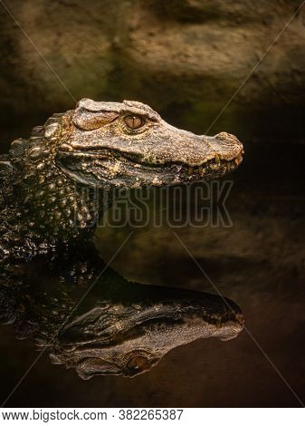 Portrait Of Caiman Reflected In The Water Of A Swamp, Spectacled Caiman Also Known As The White Caim