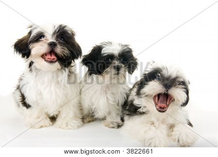 Three Happy Puppies