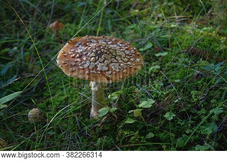 Brown Fly Agaric Or King Fly Agaric Growing On A Forest During Autumn.