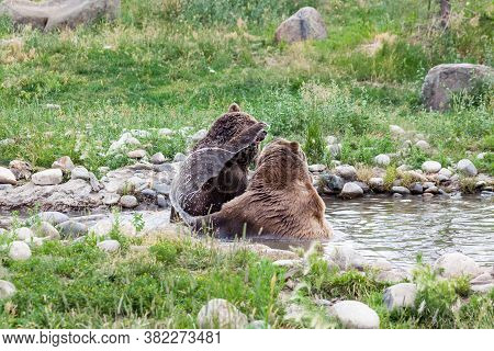 A Female Grizzly Bear Reaching Up To Smack A Male Grizzly Bear On The Head With A Ribbon Of Water Tr
