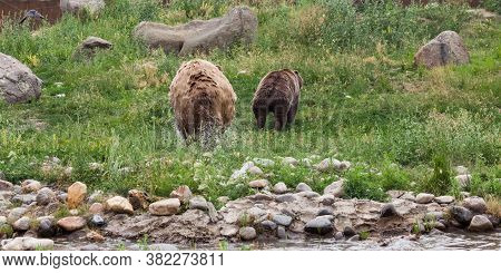 A Large Male Grizzly Bear Chasing A Female Grizzly Bear Out Of A Pond And Up A Hillside Through The