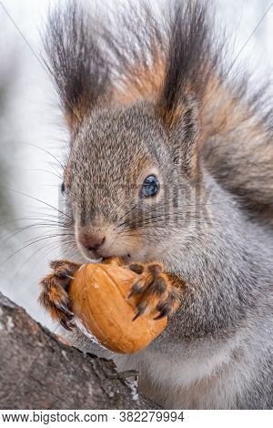 Portrait Of A Squirrel With Nut In Winter Or Autumn. The Squirrel Sits On A Branches In The Winter O