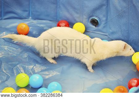 Albino Ferret Playing In Summer Hot Day Time In Swimming Pool
