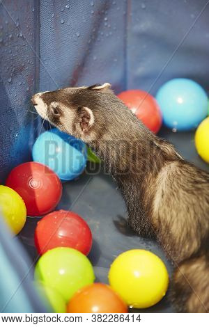 Ferret Playing In Summer Hot Day Time In Swimming Pool