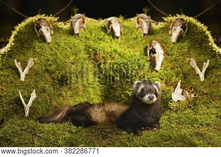 Dark sable ferret posing as a hunting predator in forest moss decorated with prey skulls
