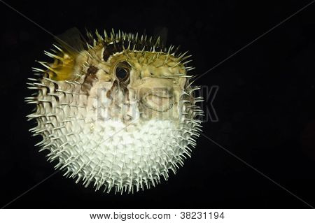 Diodontidae, Porcupinefish Or Blowfish