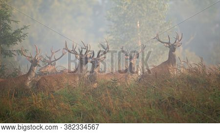 Majestic Red Deer Herd Standing On Glade In Morning Mist.