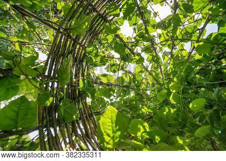 Basella Alba Malabar Spinach  - Growing On