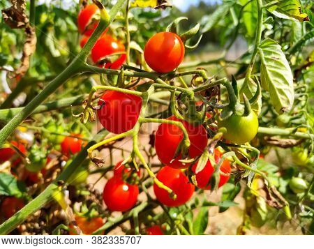 Cherry Tomatoes Hang On Twigs And Grow In The Garden, The Nightshade Family.